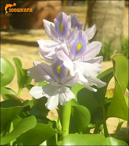 Водяной гиацинт (Eichhornia crassipes), Фото фотография растения
