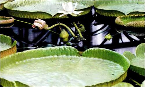 Виктория Круса (Victoria cruziana), Фото фотография  аквариумные растения