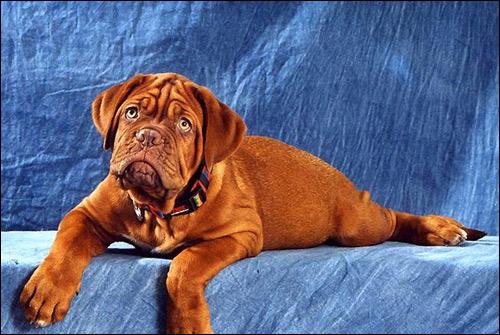 Щенок бордоского дога, бордос, Фото фотография собаки картинка