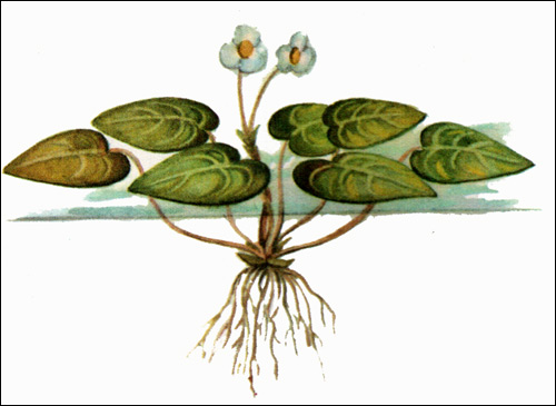 Водокрас лягушачий, лягушатник (Hydrocharis morsus-ranae), Рисунок картинка аквариумные растения