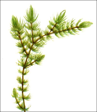 Роголистник погруженный (Ceratophyllum demersum), Рисунок картинка аквариумные растения
