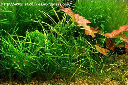 Эхинодорус нежненький (Echinodorus tenellus), Фото фотография с http://acvaristica.files.wordpress.com/2008/10/echinodorus-tenellus.jpg