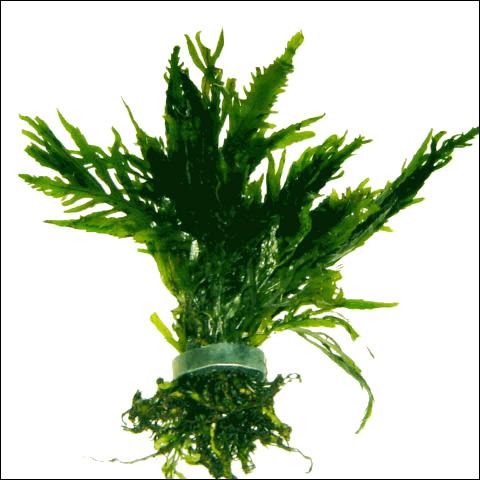 Болбитис Геделоти, конголезский папоротник (Bolbitis heudelotii), Фото фотография аквариумные растения