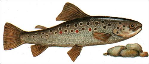 Севанская  форель (Salmo ischchan), Рисунок картинка рыбы