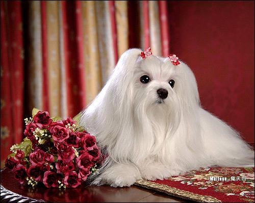Мальтез, мальтезе, мальтийская болонка, Фото фотография собаки картинка