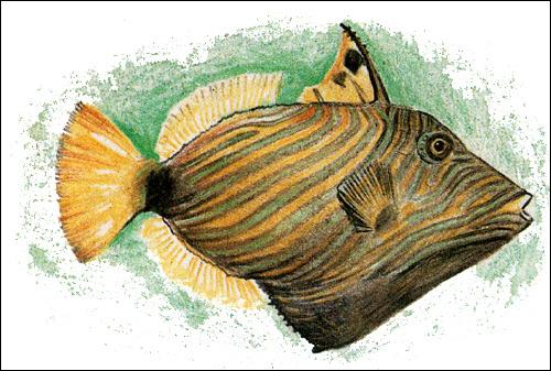Рыба-спинорог, Рисунок картинка