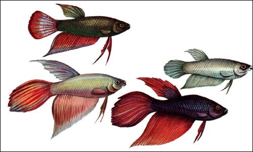 Петушок (Betta splendens), Рисунок картинка рыбы