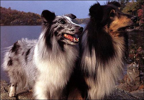 Шелти, Фото фотография картинка собаки