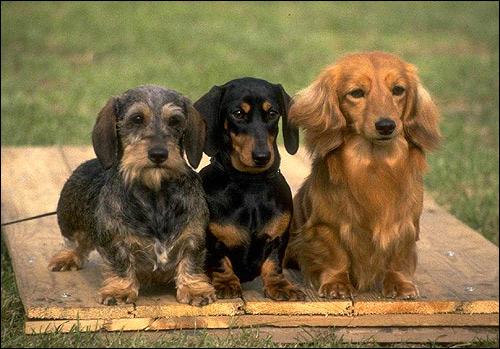 Таксы, Фото фотография собаки картинка