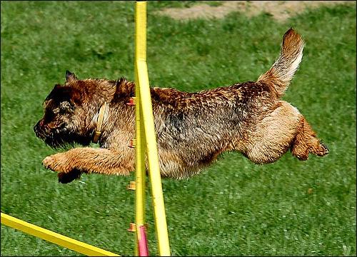 Бордер-терьер, Фото фотография собаки картинка