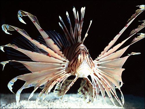 Крылатка (Pterois volitans), Фото фотография картинка рыбы