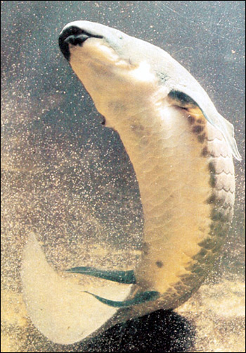 Рогозуб (Neoceratodus forsteri), Фото фотография картинка рыбы