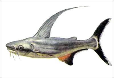 Вымпельный сом (Pangasius sanitwongsei), Картинка рисунок рыбы