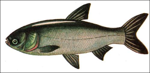 Белый толстолобик, обычный толстолобик (Hypophthalmichthys molitrix), Рисунок картинка рыбы