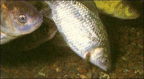 Карась серебряный (Carassius auratus gibelio), Фото фотография картинка рыбы