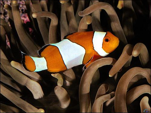 Рыба-клоун, Фото фотография картинка