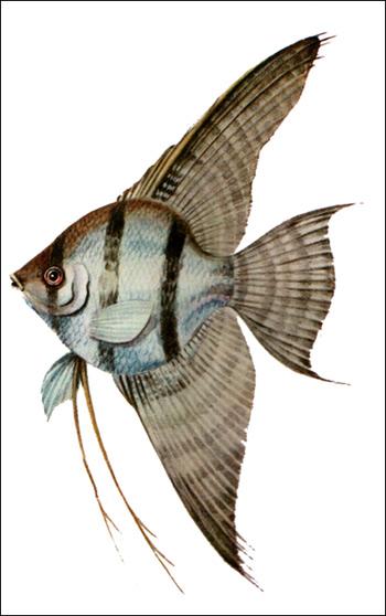 Скалярия (Pterophyllum scalare), Рисунок картинка рыбы