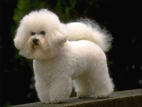 Французская болонка, бишон-фризе, Фото фотография собаки картинка