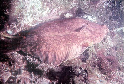Звездчатая камбала, тихоокеанская речная камбала (Platichthys stellatus), Фото фотография картинка рыбы