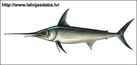 Меч-рыба (Xiphias gladius), Рисунок картинка рыбы
