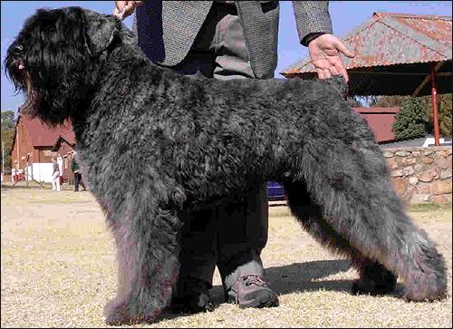 Фландрский бувье, Bouvier Champion Saarveld Angus of Clartal.  Nick name: Tau. Owner: Frik Bezuidenhoudt, South Africa, Фото фотография картинка собаки