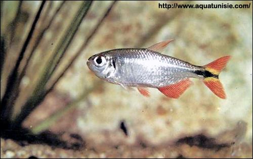 Тетрагоноптерус (Hemigrammus caudovittatus), Фото фотография картинка рыбы