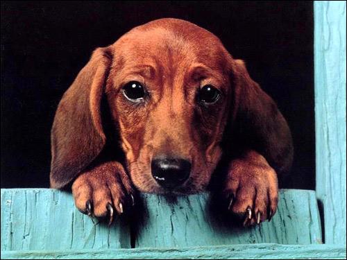 Щенок таксы, Фото фотография собаки картинка