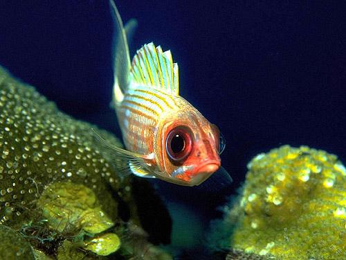 Пучеглазая рыба, Фото фотография картинка