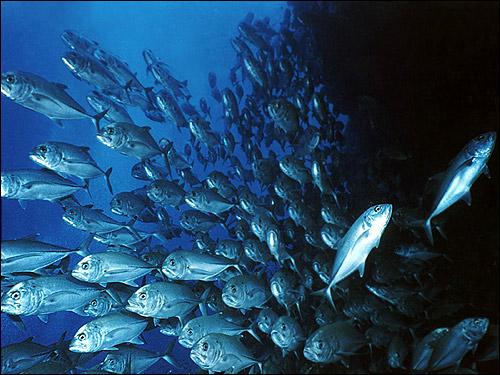 Косяк рыбы, рыбный косяк, Фото фотография