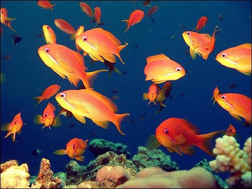 Красно-желтые рыбы, Фото фотография картинка