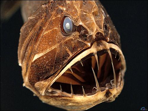 Голова глубоководной рыбы, Фото фотография