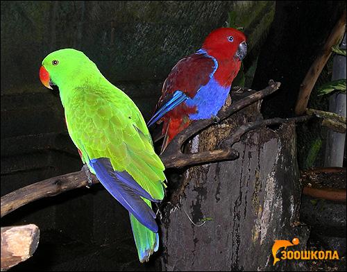Зелено-красный благородный попугай, двухцветный попугай (Eclectus roratus, Lorius roratus), Фото фотография картинка птицы