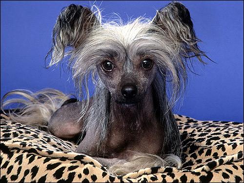 Китайская голая хохлатая собака собачка, Фото фотография собаки картинка