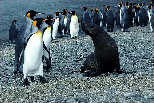Императорские пингвины (Aptenodytes), Фото фотография картинка птицы