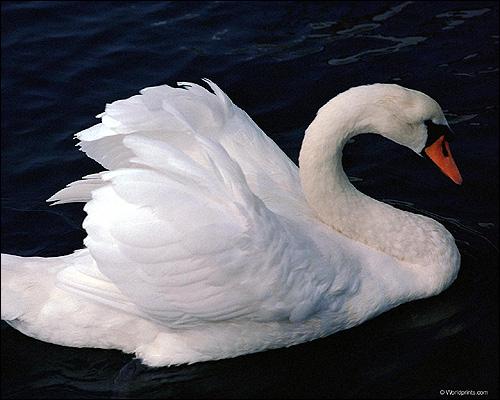 Лебедь, Фото фотография картинка птицы
