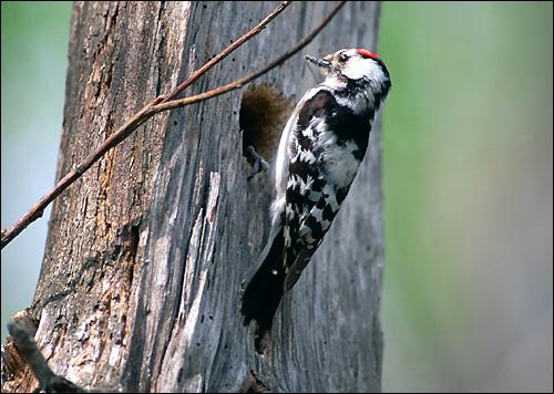 Малый пестрый дятел (Dendrocopos minor), Фото фотография картинка птицы