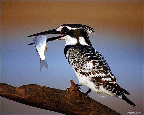 Птица, держащая рыбку в клюве, Фото фотография картинка птицы