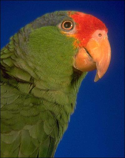 Краснолобый амазон, желтощёкий амазон (Amazona autumnalis), Фото фотография картинка птицы