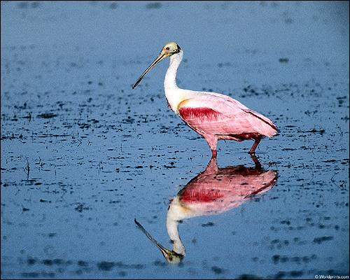 Розовая птичка, Фото фотография картинка птицы