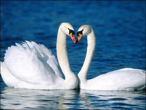Пара белых лебедей, Фото фотография картинка птицы