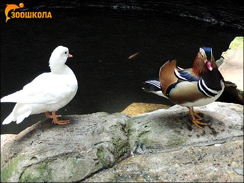 Утки, Фото фотография картинка птицы