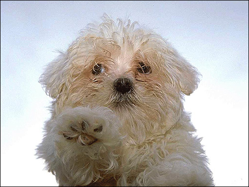 Щенок болонки, Фото фотография собаки картинка