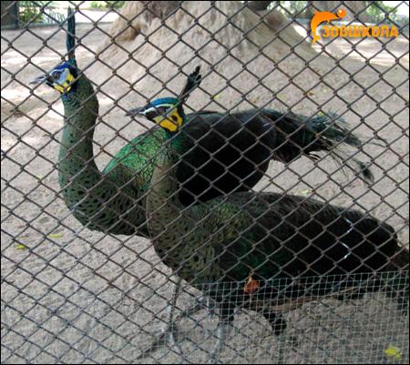 Павлины, Фото фотография картинка птицы