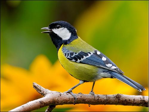 Большая синица, синица-кузнечик (Parus major), Фото фотография картинка птицы