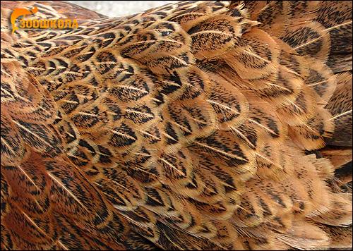 Оперение (перья) домашней курицы, Фото фотография картинка птицы