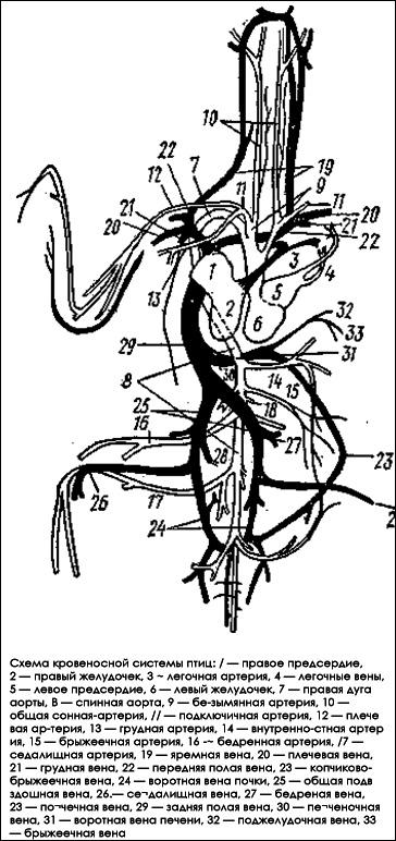 Схема кровеносной системы птицы, Черный рисунок картинка