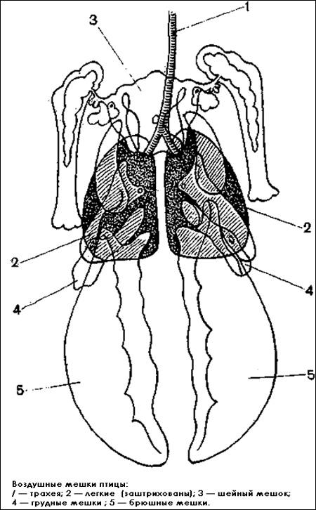Воздушные мешки птицы, Черный рисунок картинка
