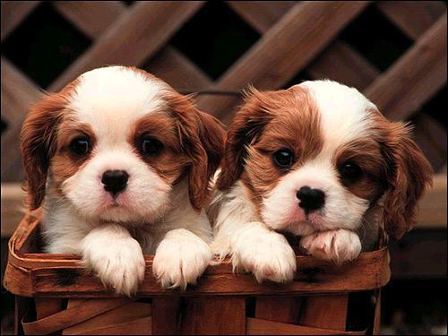 Щенки кавалер-кинг-чарльз-спаниеля, Фото фотография собаки картинка