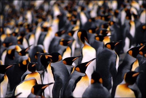 Колония императорских пингвиноы, Фото фотография картинка птицы
