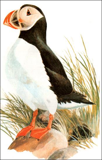 Тупик (Fratercula arctica), Рисунок картинка птицы